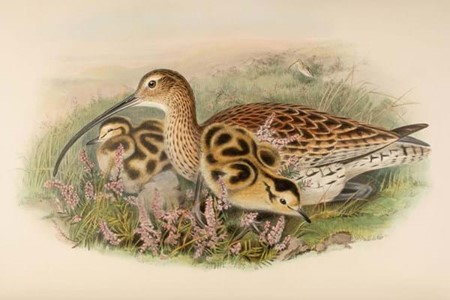illustration of British birds